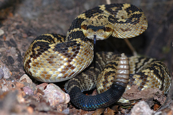 black and brown rattle snake