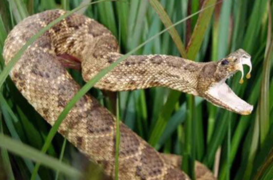 coiled snake in grass with mouth open